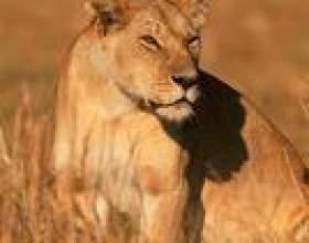 Les animaux comme les lions фото