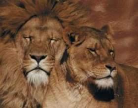 Différentes races de lions фото