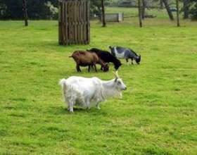 Comment faire cuire avec du lait de chèvre фото