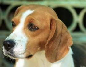 Comment construire une maison de chien pour un beagle фото
