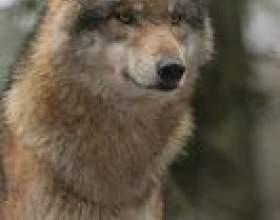 Comment tailler un personnel loup de randonnée фото