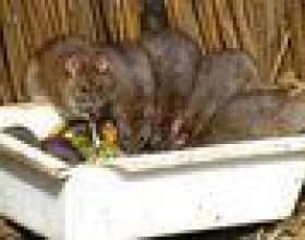 Comment attraper un rat pack фото