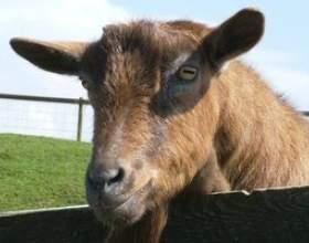 Comment boire du lait de chèvre фото