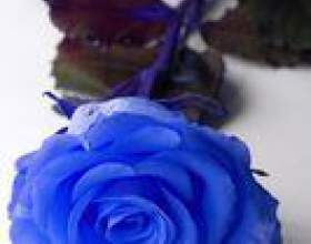 Comment teindre les roses blanches bleu фото
