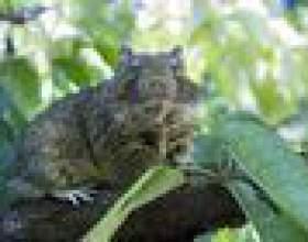 Comment se débarrasser des rats de fruits фото