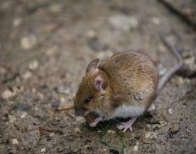 Comment se débarrasser des souris sous le plancher фото