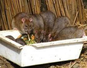 Comment se débarrasser des rats dans le grenier фото