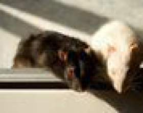 Comment se débarrasser des rats dans le toit фото