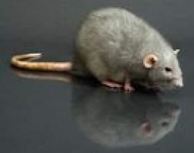 Comment se débarrasser des rats à l`intérieur de la maison фото