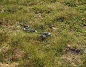 Comment se débarrasser des serpents à sonnettes фото