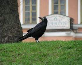 Comment se débarrasser des oiseaux corbeau фото