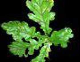 Comment identifier les chênes par la forme de la feuille фото