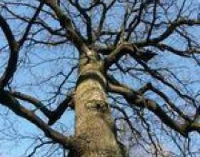 Comment identifier le bois de chêne фото