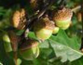 Comment identifier le chêne rouge, le chêne noir, et de chênes ronce фото