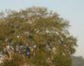 Comment identifier les arbres de chêne texas фото