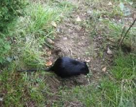Comment tuer les rats à l`extérieur фото