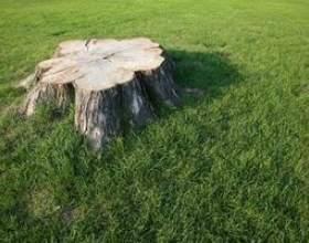 Comment tuer les souches d`arbres avec du lait фото