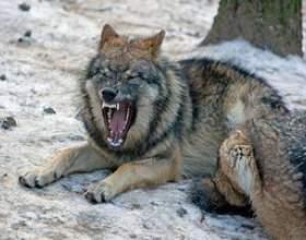 Comment faire un costume de loup d`un enfant фото
