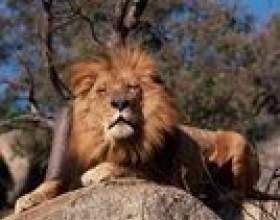Comment peindre la fourrure d`un lion фото