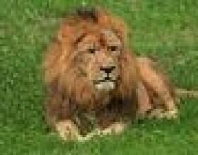 Comment peindre un lion фото