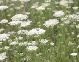 Comment préserver les fleurs en dentelle reine anne pour bouquets frais фото