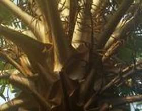 Comment enlever les souches de palmiers фото