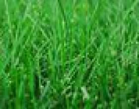 Comment utiliser miracle se développer sur l`herbe fraîchement ensemencé фото