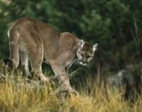 Lions de montagne trouvés dans kentucky фото