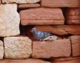 Contrôle de pigeon à la menthe poivrée savon фото