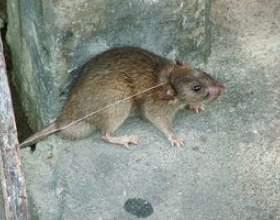 L`élimination des excréments de rat фото