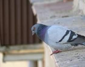 Bain de sel pour les oiseaux de se débarrasser des acariens фото