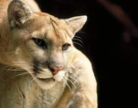 Les adaptations de mountain lion à vivre dans le désert фото