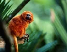 Quelles sont dorées adaptations de tamarin lion? фото