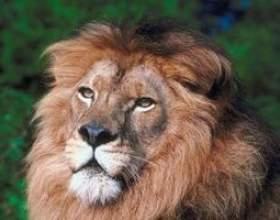 Quel type d`écosystème ne lions vivent? фото